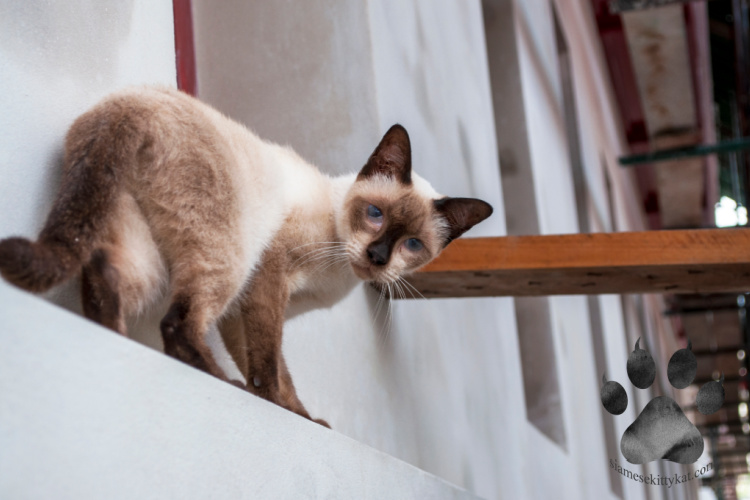 Do Siamese Cats Like To Be Outside Siamese Cats Rule